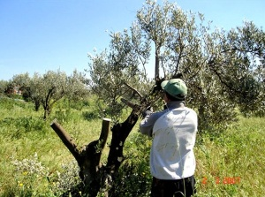 Olive 14